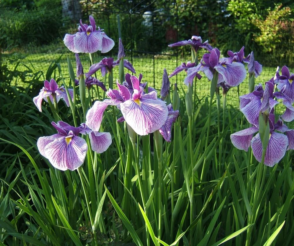 Photo of Japanese Iris (Iris ensata 'Prairie Glory') uploaded by pirl