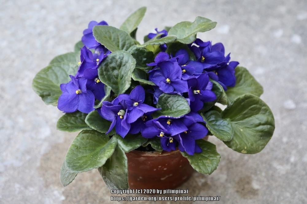 Photo of African Violets (Saintpaulia) uploaded by pitimpinai