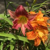 Location: Gardenfish garden Date: June 27 2020A pretty NOID and double ditch lilies
