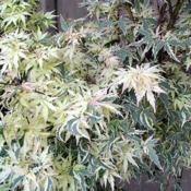 Location: in my Johnny's front gardenDate: spring, 2916Acer palmatum 'Butterfly'
