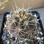 Location: South Jordan, Utah, United StatesDate: 2020-06-30Gymnocalycium chubutense