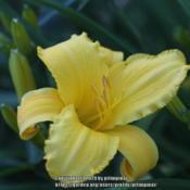 Location: ChicagoDate: 2020-07-04The only daylily I keep in my garden.
