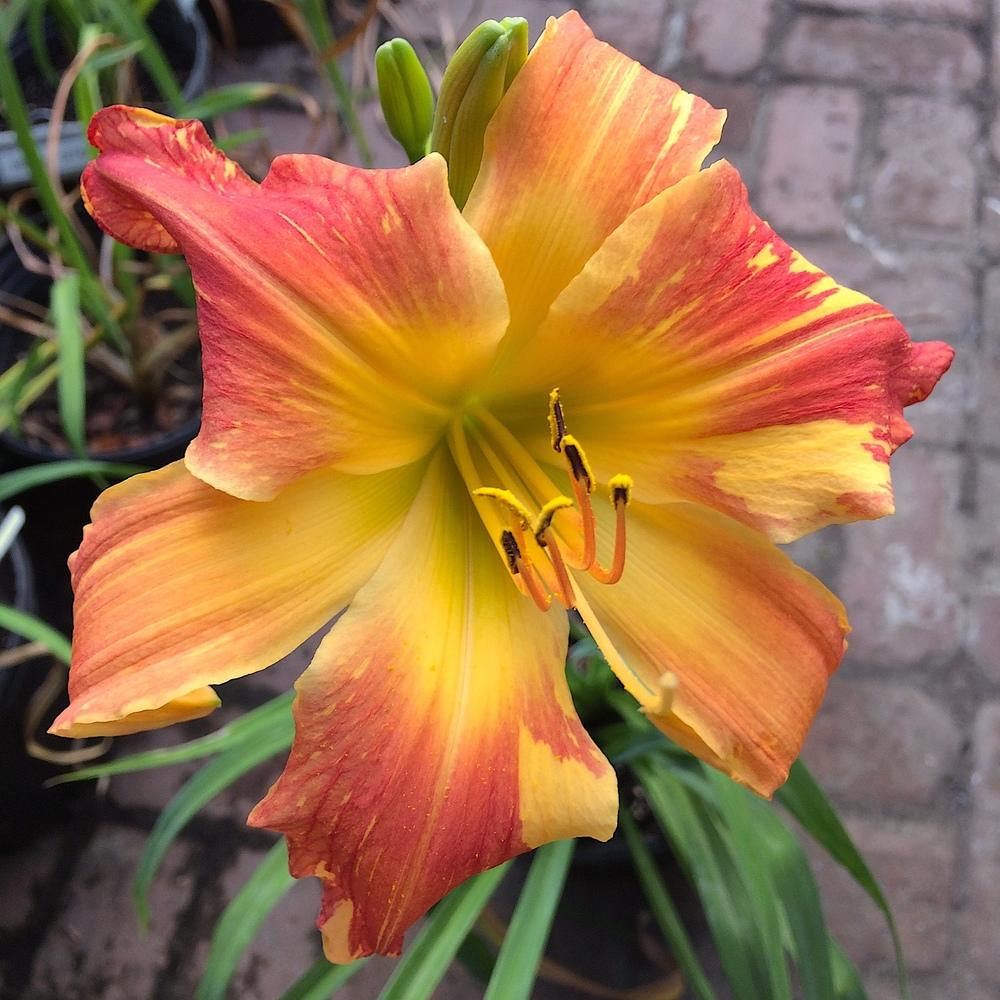 Daylily (<i>Hemerocallis</i> 'Explosion in the Paint Factory')