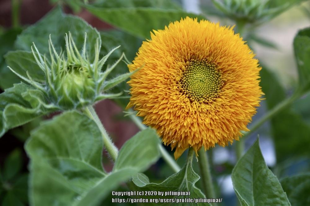 Sunflower (<i>Helianthus annuus</i> 'Teddy Bear')