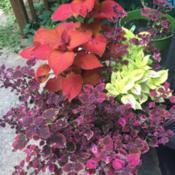 Location: Mooresville, NCDate: 2020-07-06I love grouping coleus of various sizes and colors for