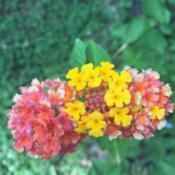 Location: Mooresville, NCDate: 2020-07-06I love the beautiful color variations of this lantana's