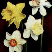 Location: Narcissus 'Lovenest' is the bloom in the top right of the photoDate: c. 1936illustration from the 1936 catalog, Carl Salbach, Berkeley, Calif