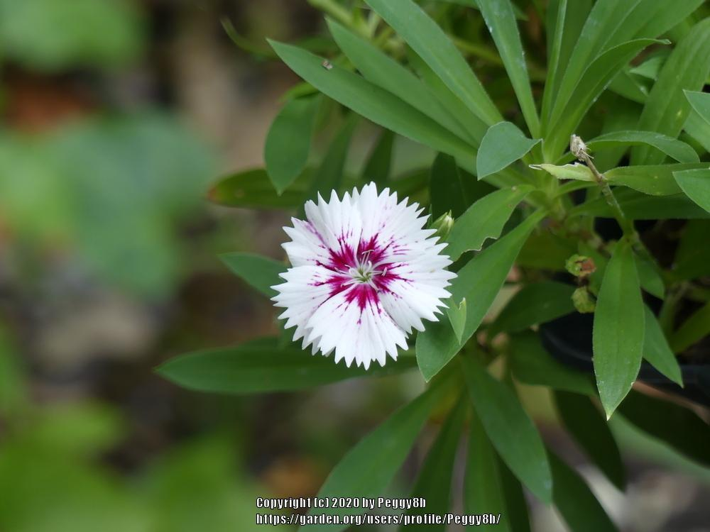 Photo of Dianthus uploaded by Peggy8b