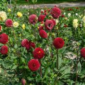 Location: Dahlia Hill, Midland, MichiganDate: 2018-09-08Small blooms on tall stems.  They have very different a