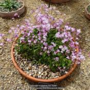 Location: RHS Harlow Carr alpine house, Yorkshire, UKDate: 2020-07-11