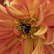 Location: Dahlia Hill, Midland, MichiganDate: 2018-09-08Pollen laden bee plundering an informal decoration dahl