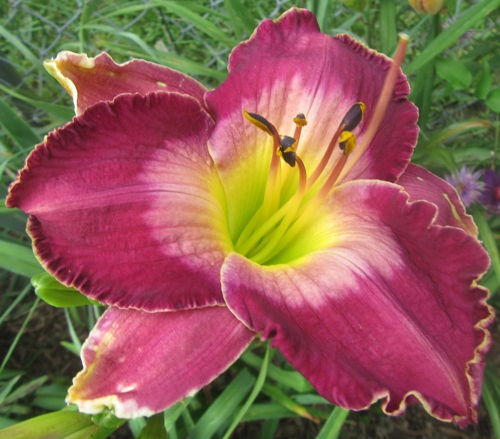 Photo of Daylily (Hemerocallis 'Court Magician') uploaded by tveguy3