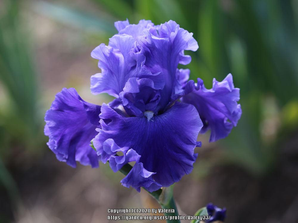Photo of Tall Bearded Iris (Iris 'Adriatic Waves') uploaded by Valery33