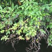 Location: Newland, NCDate: 2020-07-18I found this wild blueberry bush growing over the lake!