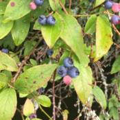 Location: Newland, NCDate: 2020-07-18These wild blueberries were very tasty!  Not super sweet, but a s