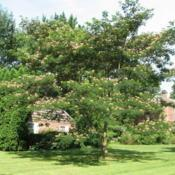 Location: West Chester, PennsylvaniaDate: 2008-07-17a mature tree