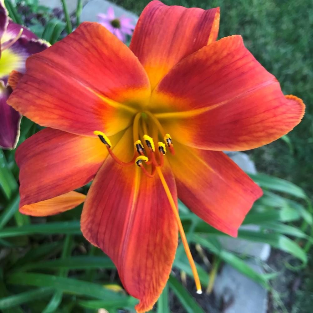 Photo of Daylily (Hemerocallis 'Bob Marley') uploaded by joelsted