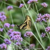 Location: My garden in N E Pa. Date: 2020-08-07Every year the Giant Swallowtail butterfly stops by to