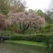 Location: in Seiwa-en, part of the Missouri Botanical GardenDate: Spring, 2004Prunus subhirtella 'Pendula Rosea'