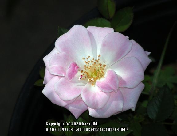 Photo of Rose (Rosa 'Jilly Jewel') uploaded by seilMI