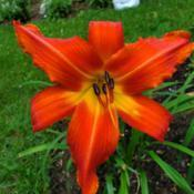 "Location: My homeDate: 2020-07-21daylily ""Bob Marley"""