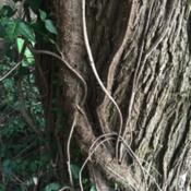 Location: Frederick MD zone 7ADate: 2020-08-14Climbing vine attaching to tree trunk