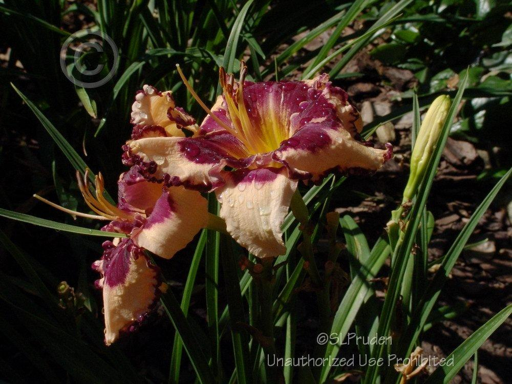 Photo of Daylily (Hemerocallis 'Sabine Baur') uploaded by DaylilySLP
