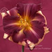 Location: SMDS Daylily Show, Rochester, MIDate: 2009-07-18