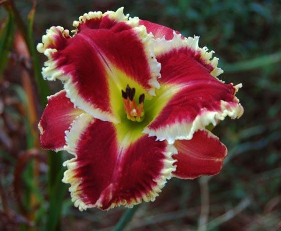 Daylily (<i>Hemerocallis</i> 'Armed to the Teeth')