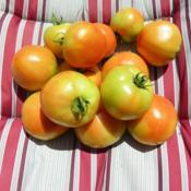 Location: Long Island, NY Date: 2020-08-12tomatoes