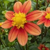Location: Dahlia Hill, Midland, MichiganDate: 2019-08-15Inflammation dahlia blooms have varying degrees of color gradatio
