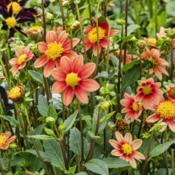 Location: Dahlia Hill, Midland, MichiganDate: 2019-08-15As this shows, there is some variation in appearance among blooms