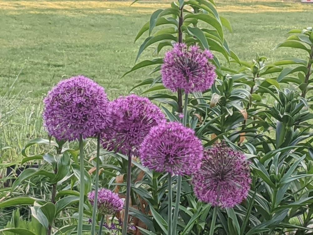 Photo of Flowering Onion (Allium 'Purple Sensation') uploaded by Joy