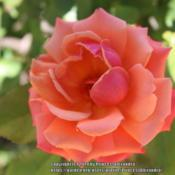 Location: Ashton GardensDate: 2020-06-22A beautiful colorful rose bloom