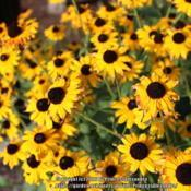 Location: Ashton GardensDate: 2020-08-17A bunch of yellow black Eyed Susan