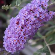 Location: My house(UT)Date: 2020-08-24A nice purple bloom of a Butterfly Bush
