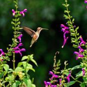 Location: Botanical Gardens of the State of Georgia...Athens, GaDate: 2020-08-23Hummingbird In The Salvia Garden 001