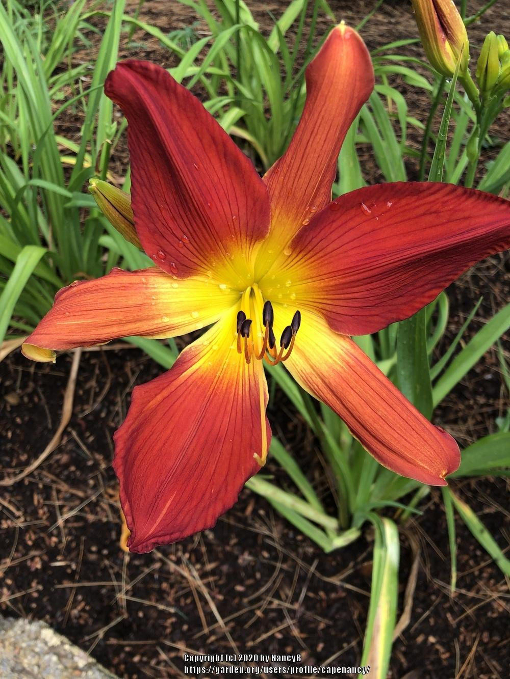Photo of Daylily (Hemerocallis 'Open Hearth') uploaded by capenancy