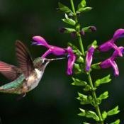 Location: Botanical Gardens of the State of Georgia...Athens, GaDate: 2020-08-23Hummingbird And Salvias 027