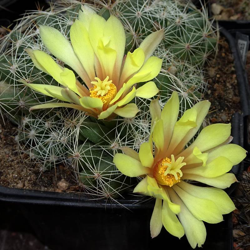 Photo of Pale Mammillaria (Mammillaria sphaerica) uploaded by Orsola