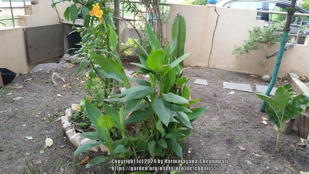 Photo of Canna Lily (Canna 'Yellow King Humbert') uploaded by chhari55