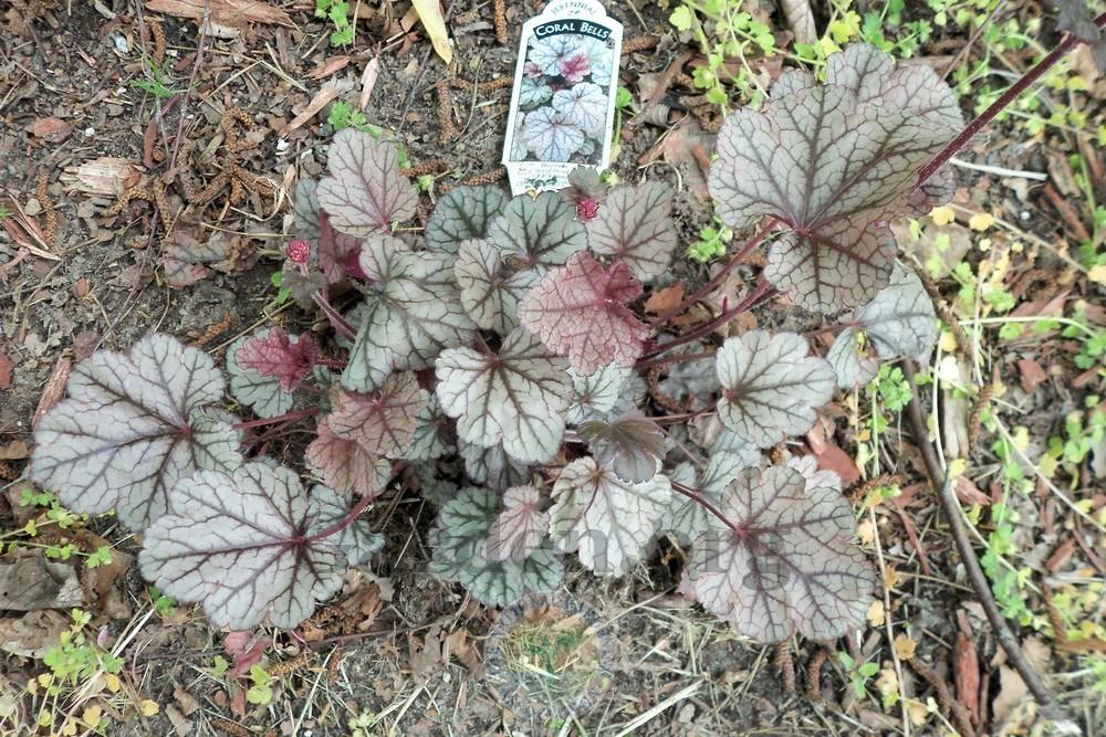Photo of Coral Bells (Heuchera 'Silver Scrolls') uploaded by virginiarose