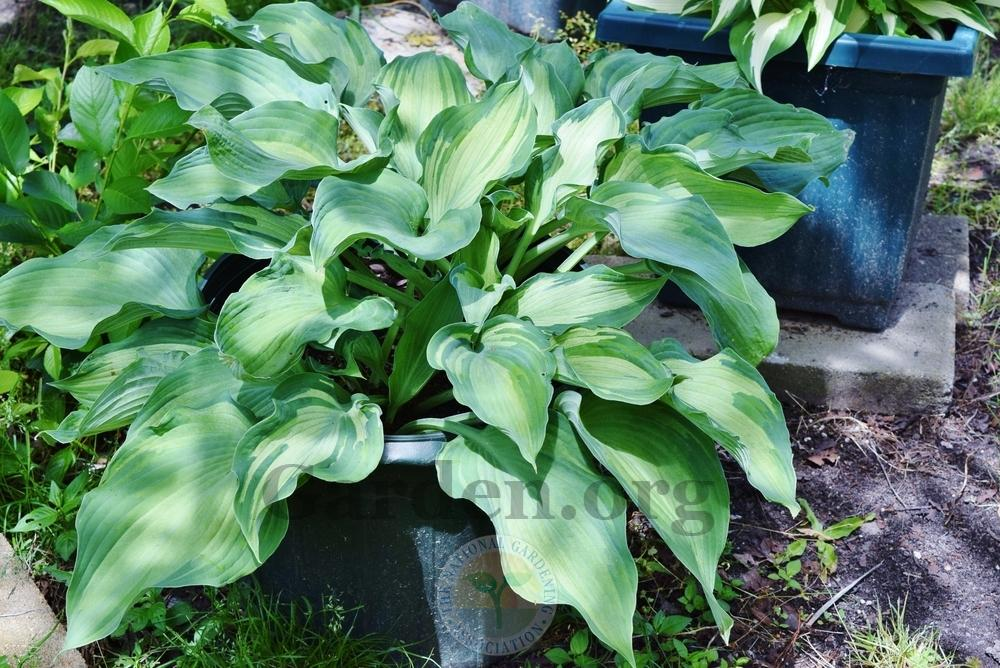 Photo of Hosta 'Guardian Angel' uploaded by virginiarose