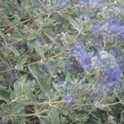 Location: Berwyn, IllinoisDate: 2020-08-31Bluebeards (Caryopteris)