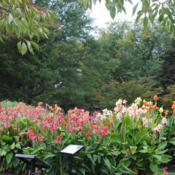 Location: Longwood Gardens in southeast PADate: 2014-10-03a collection of mixed canna cultivars