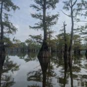 Location: Caddo Lake (Texas/Louisiana Border)Date: 2020-08-31