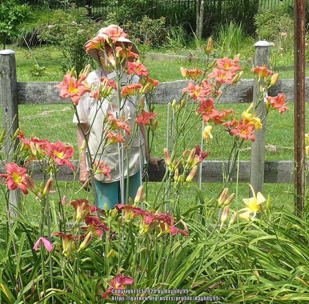 Photo of Daylily (Hemerocallis 'Knocking on Heaven's Door') uploaded by daylilly99