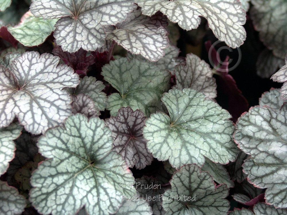 Photo of Coral Bells (Heuchera 'Silver Scrolls') uploaded by DaylilySLP