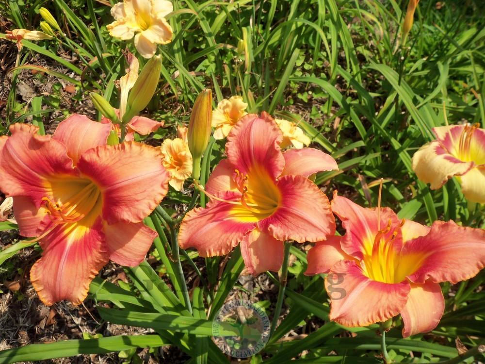 Photo of Daylily (Hemerocallis 'Tropical Heat Wave') uploaded by virginiarose
