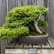 Location: Hidden Lake Gardens, Tipton, MichiganDate: 2019-06-19Bonsai specimen.  Age ~ 70 years  The needles are the bright gree